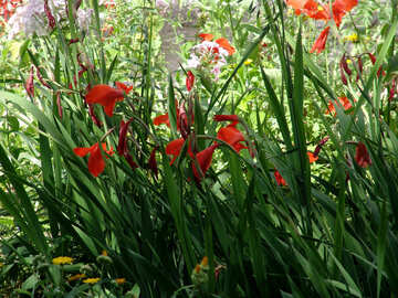 Flower bed with gladioluses №3194