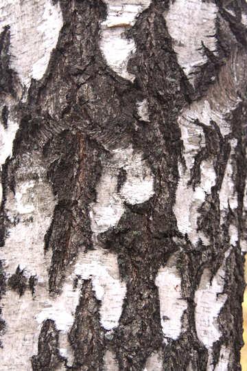 White bark  №3365