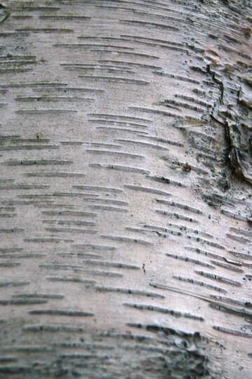 Texture. The bark of birch bark  №3352