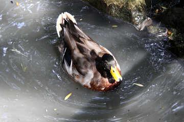 Duck №3065