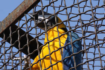 Parrot dark blue ara. №3088