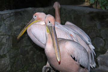 Pelicans  №3045