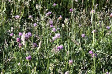 Meadow clover clover meadow  №3259
