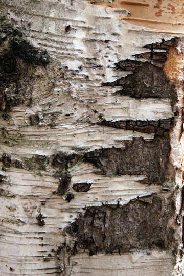 Birch №3357