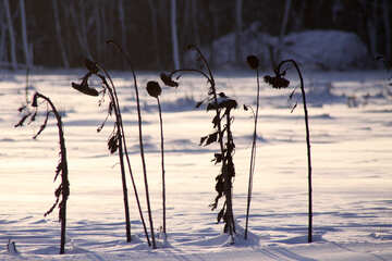 Winter Sunflower №3995
