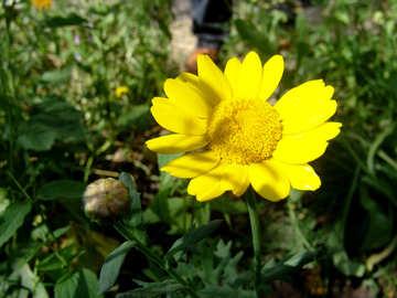 Yellow camomile №3208