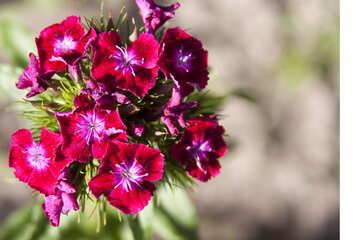 Turkish clove pinks  №3247