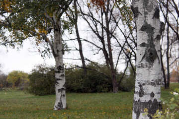 Birches on the lawn  №3347