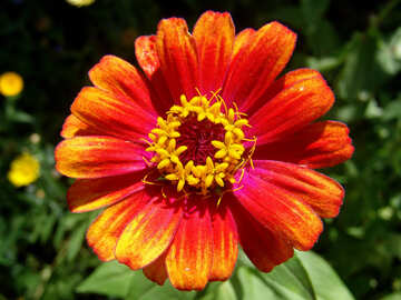 zinnia California  №3218
