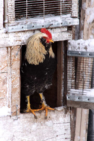 Rooster   of the  windows №3991