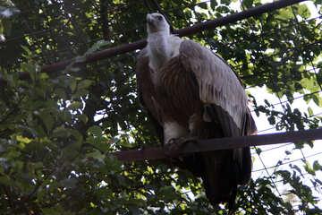 Griffon Vulture Griffon  №3095