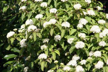 White Cornus (Cornus alba) Hedge . №3135