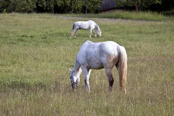 White horse  №3266