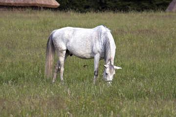 Gray horse  №3264