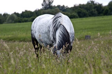 Gray horse grazing in the tall grass  №3271