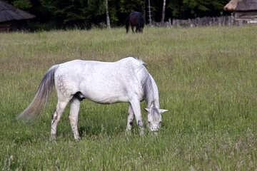 white horse grazing  №3261