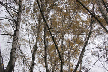 Birches in autumn №3333