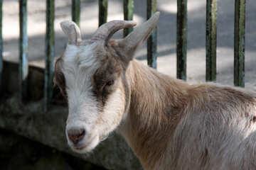 de chèvre cornes de chèvre  №3077