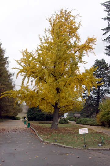 A tree with yellow leaves  №3326