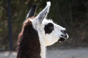 Portrait of the llama  №3089