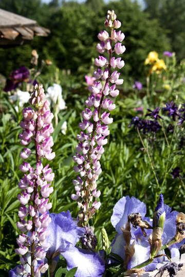 Flower Garden. Lupine  №3234