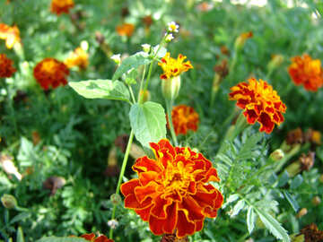 Ringelblume in Flowerbed №3201