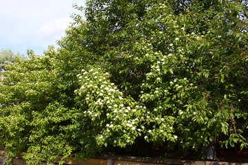 Bäume als einen Zaun  №3134