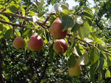 Ripe pears on branch №3192