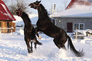 Horses frolic in the snow №3973