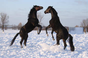 Stallions dybah №3962