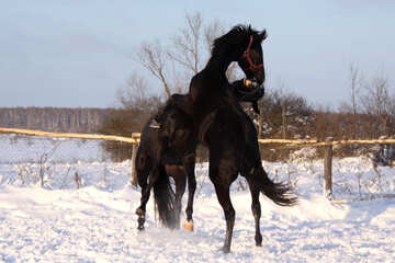 Two stallions fighting in the snow №3957