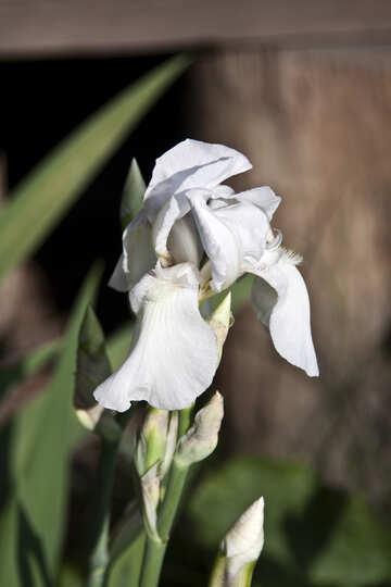 White Iris  №3242