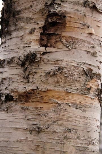 Birch. Texture . №3358