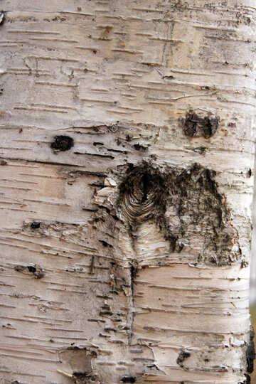 Birch. Texture . №3359