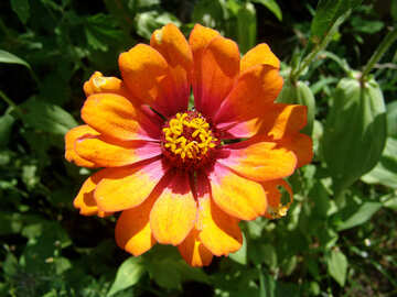 of orange flower Major. Tsiniya