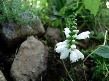 weiße Blume, weiße Blume  №3197