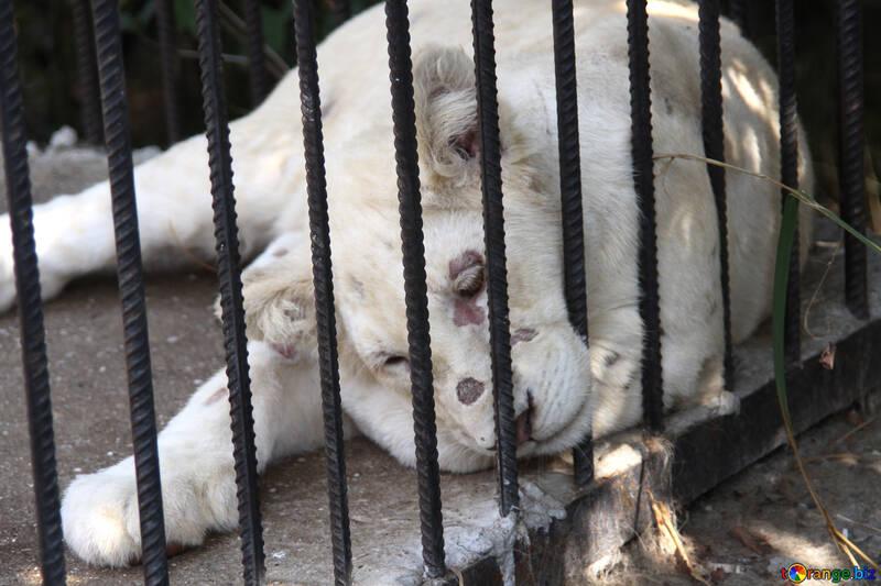 White  lion   Zoo №3101