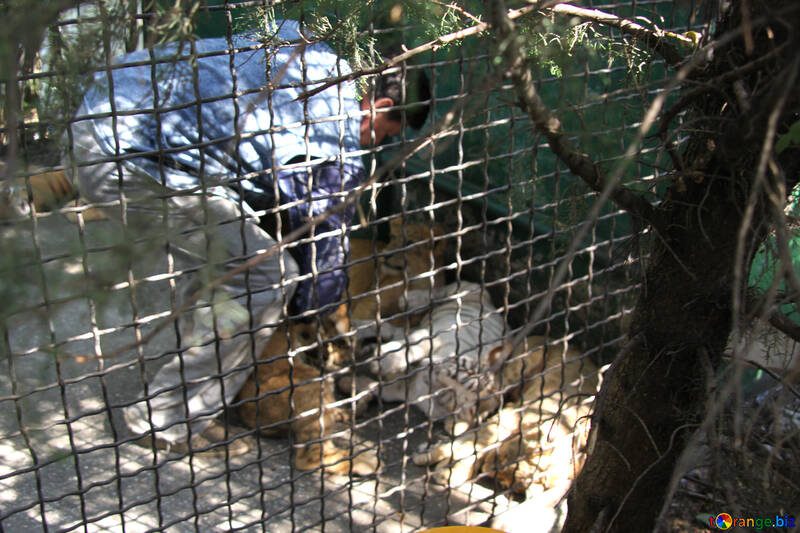 Tigryulya in cage with photographer  №3085