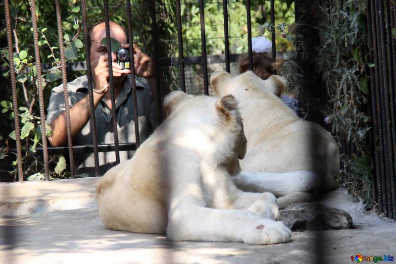 White  Lions  and  cameramen №3102