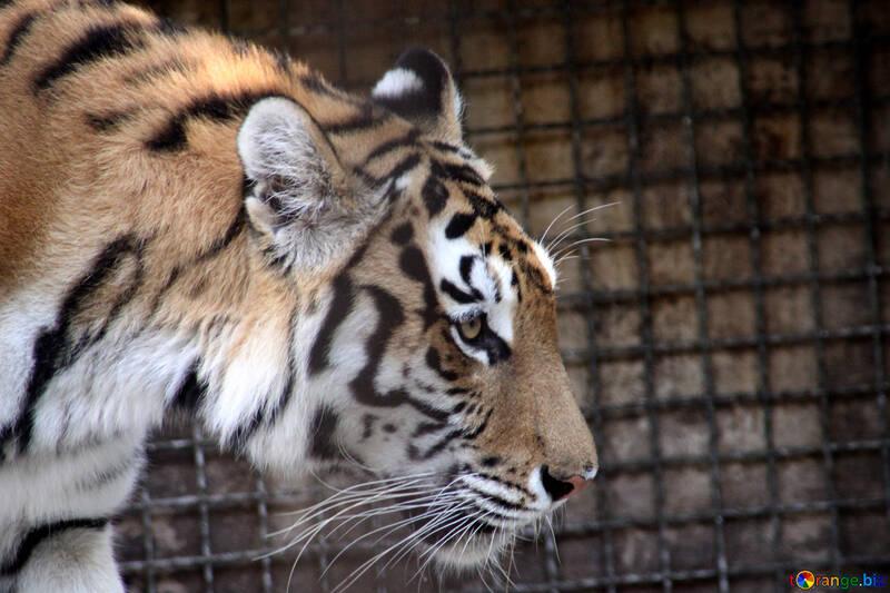 Amur tiger  №3087