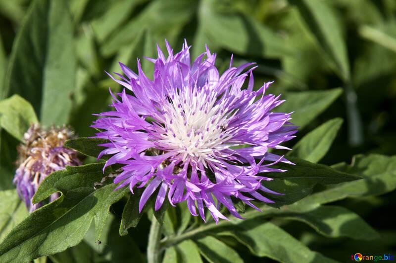 Cornflower  №3248