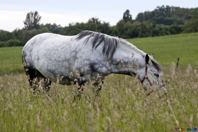 dapple-gray on green meadow  №3273