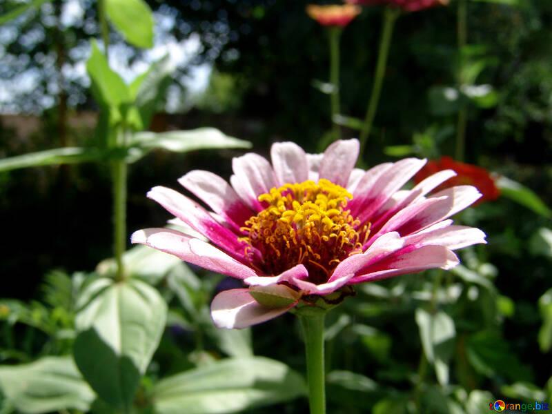 Pink flower Major  №3217