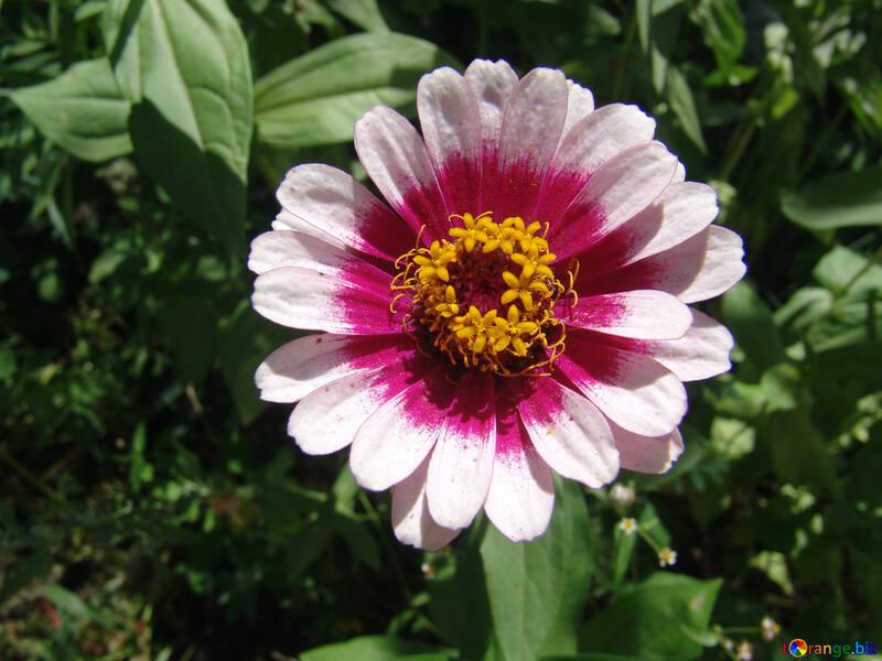 weiß und rosa Zinnie  №3215