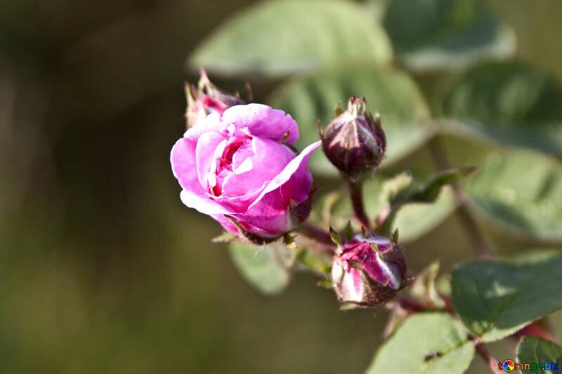Thé Rose Thé Rose  №3255