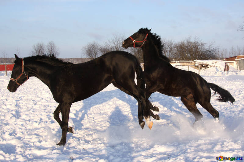 Horses frolic in the snow №3967