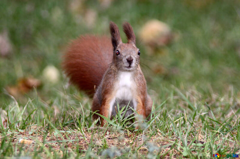 Eichhörnchen sitzt im Gras  №3331