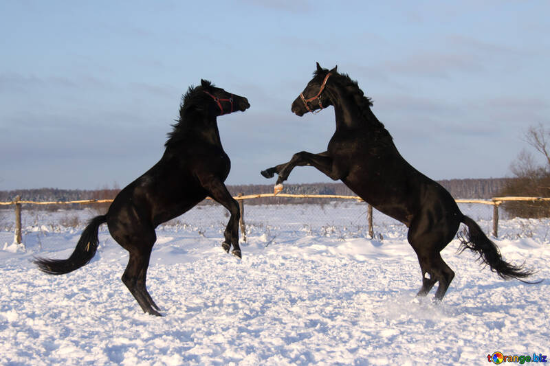 Horses find out who`s the stallion №3969