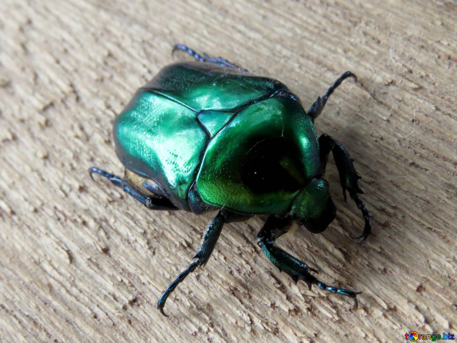 Зеленый жук дома летает фото