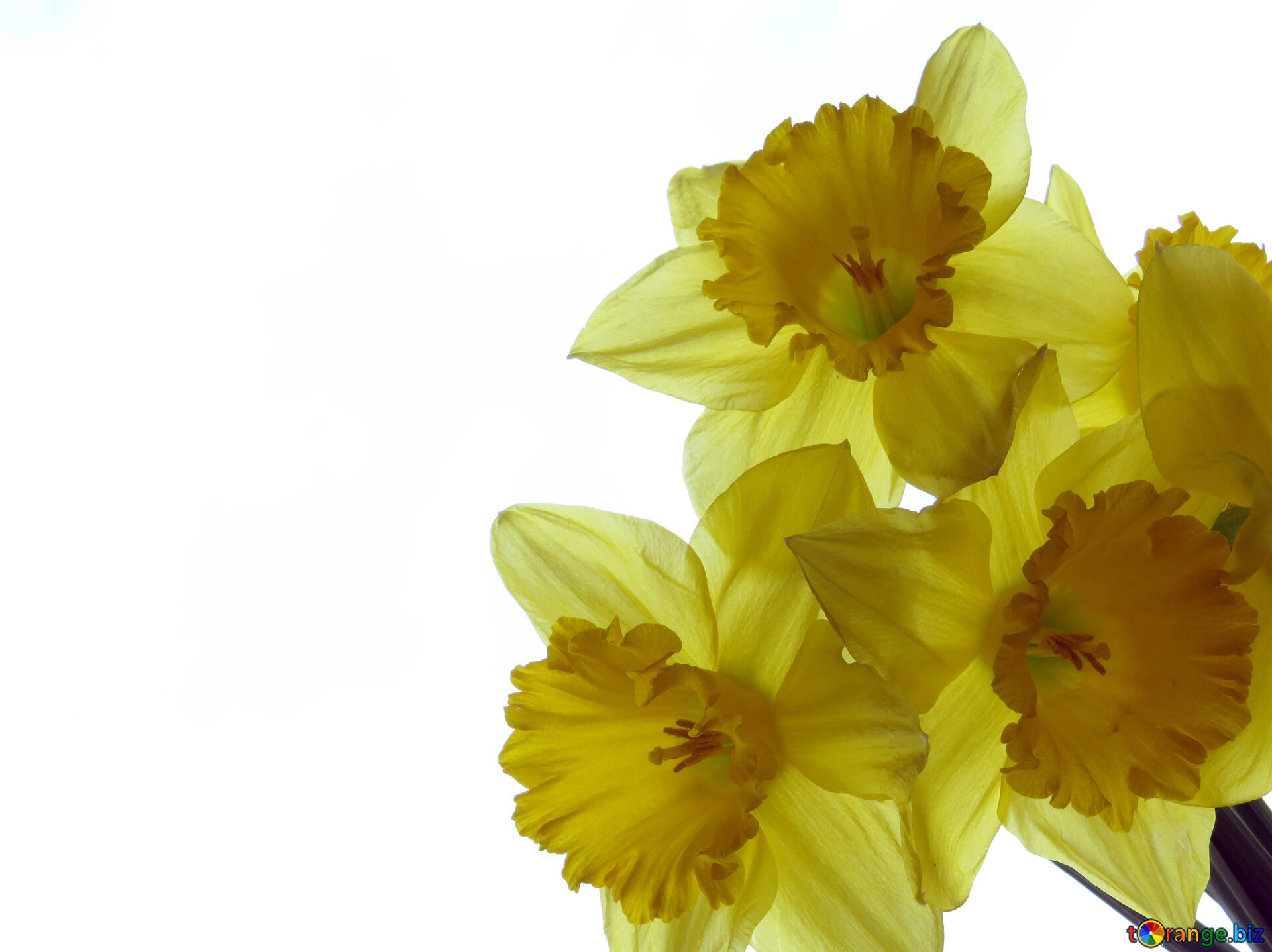 Backgrounds With Daffodils Blank Greeting Cards Narcissus 30944